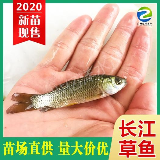 广州花都区 源头厂家 批发优质长江草鱼苗  全国发货