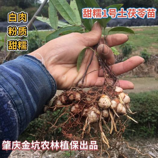 肇庆高要区土茯苓苗 【多次优选白肉甜糯品种】