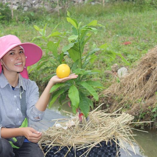 钦州灵山县黄晶果苗 台湾新品种黄晶果,黄金果,雅美果,四季结果当年结果正品树苗