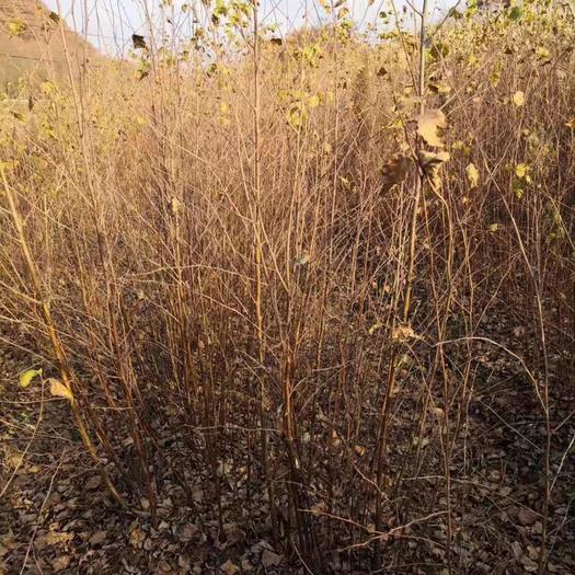 铁岭开原市白桦树苗 白桦小苗30-1米高