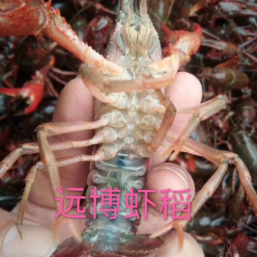 荆州监利县 各种硬规格6.1钱以上小龙虾清水虾稻田虾餐馆饭店包邮