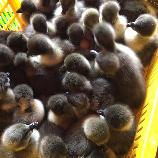 南宁西乡塘区狮头鹅苗 合浦 大型鹅种苗 厂家直销 包打疫苗 量大从优
