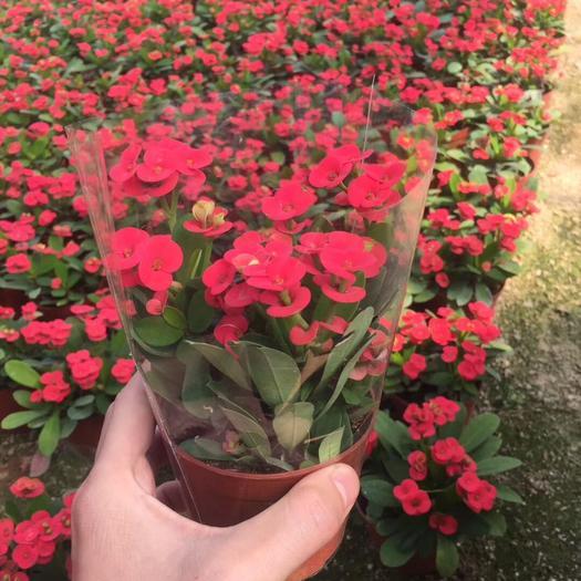 普寧市多肉虎刺梅 虎刺梅小盆栽蔓生灌木植物全年開花易于照料花小 但顏色美