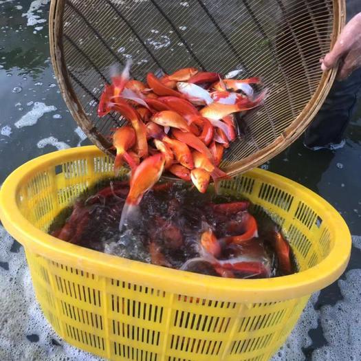 北京房山 本场出售长尾草金鱼、