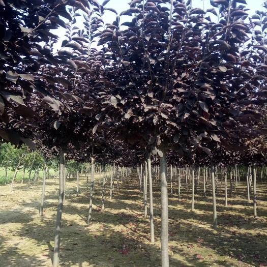 铁岭开原市紫叶稠李苗 供应紫叶稠李1-10公分大量出售