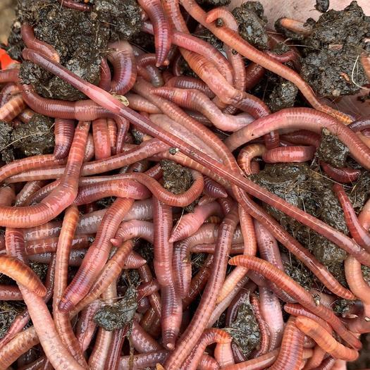 黔东凯里市 蚯蚓种苗 蚯蚓粪有机肥