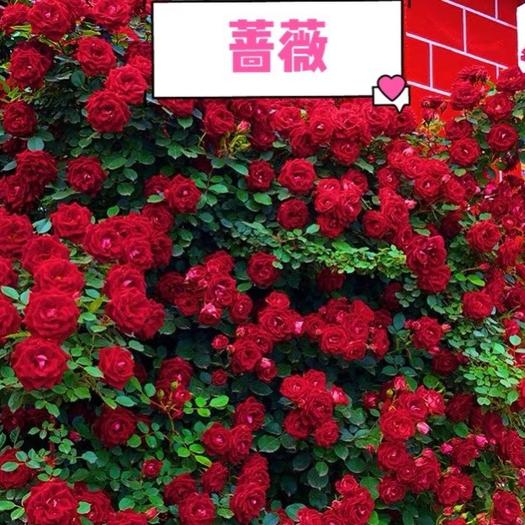 上海蔷薇苗 大花!浓香! 藤本七彩蔷薇,爬藤、月季玫瑰