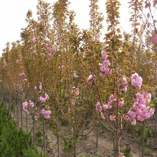 蒼溪縣 樹形優美的櫻花樹苗