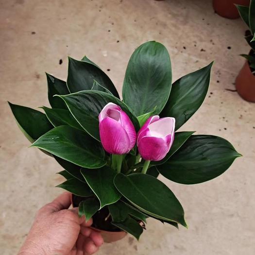 普宁市 郁金香盆栽多年生草本植物 外形美丽 花姿优雅根系发达好养*