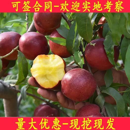 临沂平邑县 纯甜型甜油桃早熟红皮白肉油桃苗中油4号桃树苗5月20号成熟耐