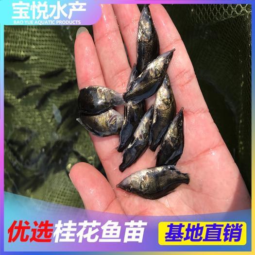 广州花都区 优质桂花鱼苗 鳜鱼苗 翘嘴鳜鱼苗 大量批发