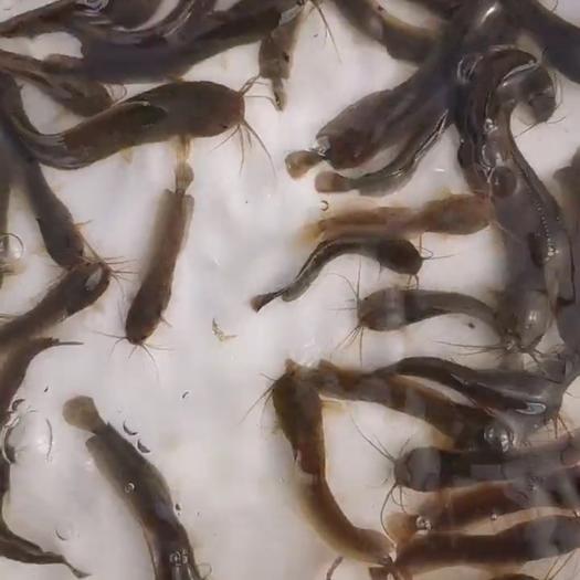 玉林本地塘鲺 塘角鱼苗大量现货供应