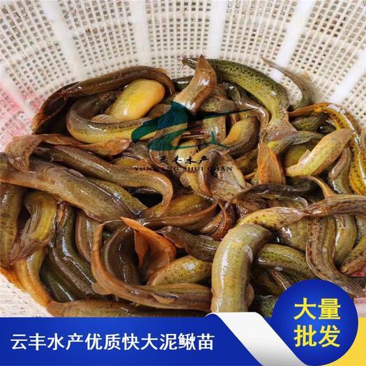 广州花都区 优质泥鳅苗 台湾泥鳅苗 杂交泥鳅苗