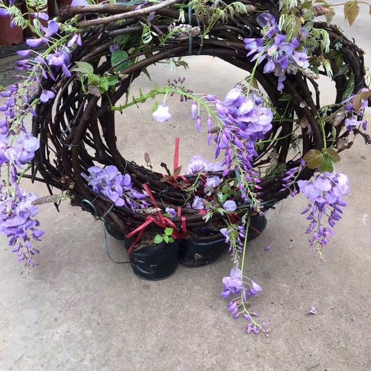 揭陽普寧市 紫藤袋苗落葉攀援纏繞性大藤本植物適應性強較耐寒能耐水濕