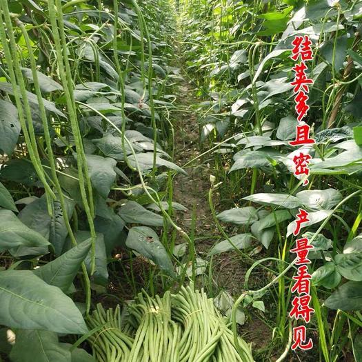 邵阳邵东县 特长豆角种子 长达1.2米