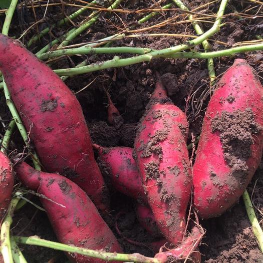 宜城市 睿龍農場萬畝紫薯、西瓜紅、龍九、濟薯等優質紅薯期待您的光臨