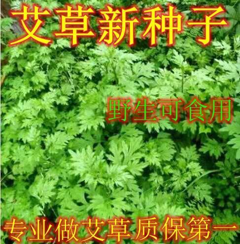 宿迁沭阳县 新鲜艾草种子,可以食用可以药用艾草四季种植