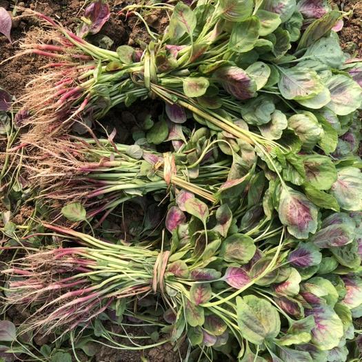 襄樊襄州區紅莧菜 15-20cm 紫紅
