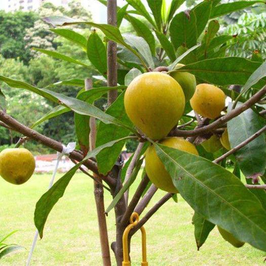 钦州灵山县 树蛋果苗   鸡蛋果苗,庭院阳台可种植