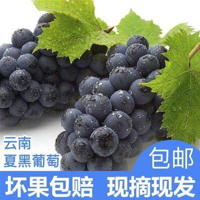 红河红河县 【特价包邮】现摘夏黑葡萄无籽黑蜜葡萄新鲜水果批发