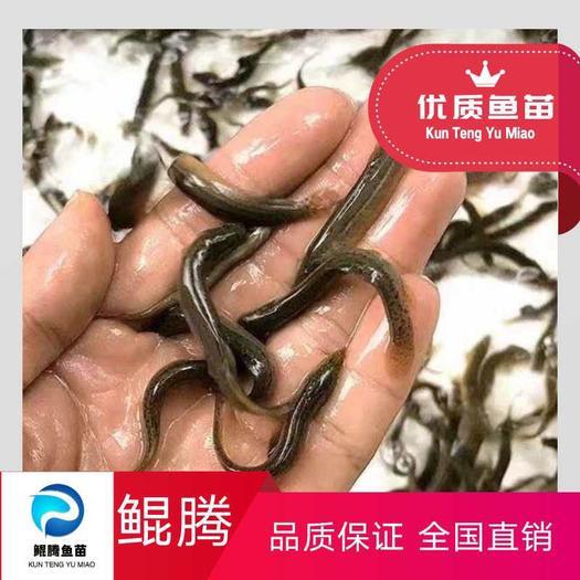 广州花都区台湾泥鳅苗 优质泥秋苗 台湾泥鳅 不钻洞泥鳅 优育泥鳅水花