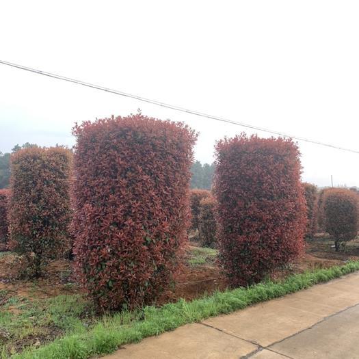 滁州 紅葉石楠柱