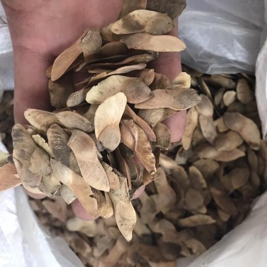泰安岱岳区 五角枫种子 当年新种子 美国红枫 24小时顺丰发货