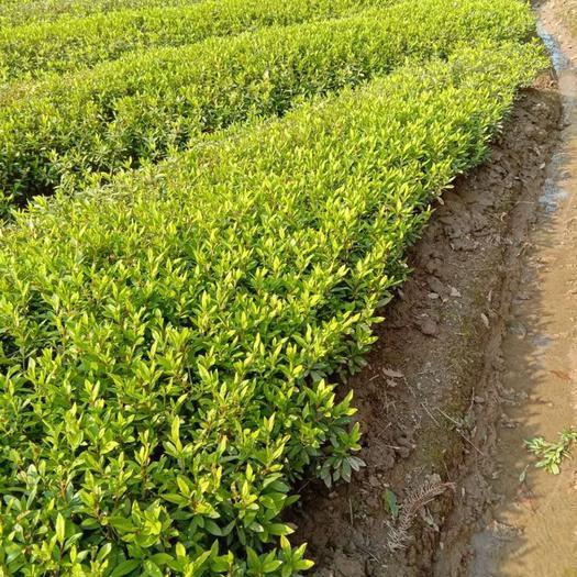 长沙长沙县杜鹃苗 一年插杜鹃和红继木,25到30公分,价格美丽,量大