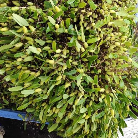 揭陽揭東區仙茅 長期大量收購石橄欖