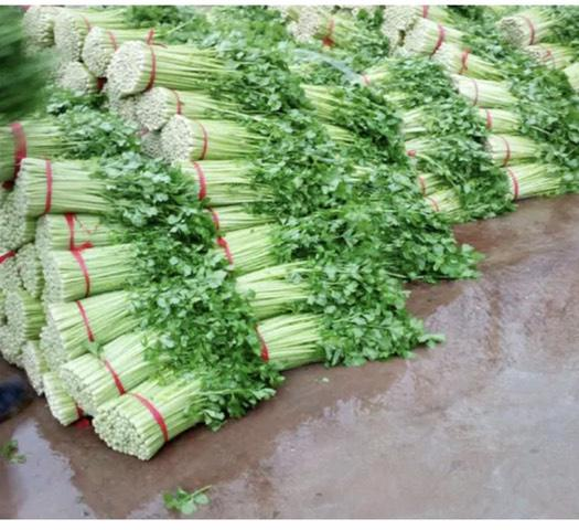 徐州沛县 精美西芹55厘米以上 产地直销 市场专供
