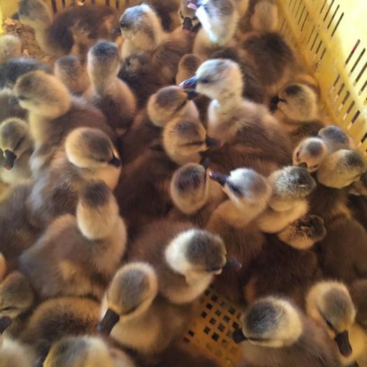 南宁西乡塘区 优质大种灰鹅苗,75天左右出栏,孵化直供,