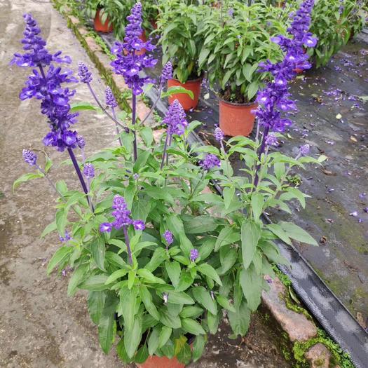 普寧市展望 一串藍大盆栽大冠幅多分枝多年生生性強健栽培容易花期長