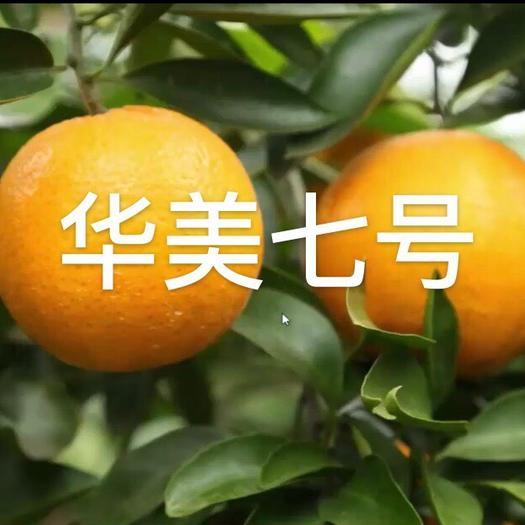 眉山 华美七号柑桔枝条