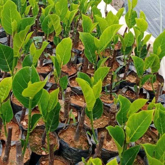 崇左凭祥市 泰国红肉菠萝蜜苗 12号 矮接 高度30-50公分