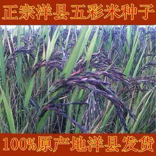 濰坊臨朐縣 洋縣黑米種子 綠米 黃米 紫米 紅米 五彩水稻種子