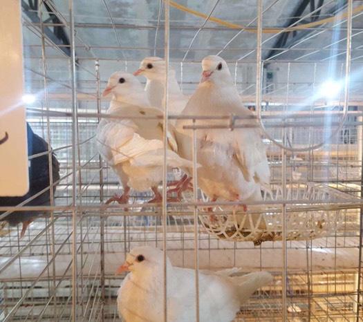 邯鄲永年區 肉鴿出售
