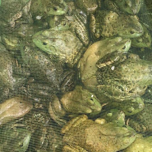 深圳宝安区牛蛙 人工养殖