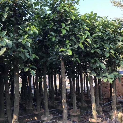 揭阳普宁市 高山榕8~11公分袋苗四季常绿树冠广阔 生性强健耐干旱瘠薄