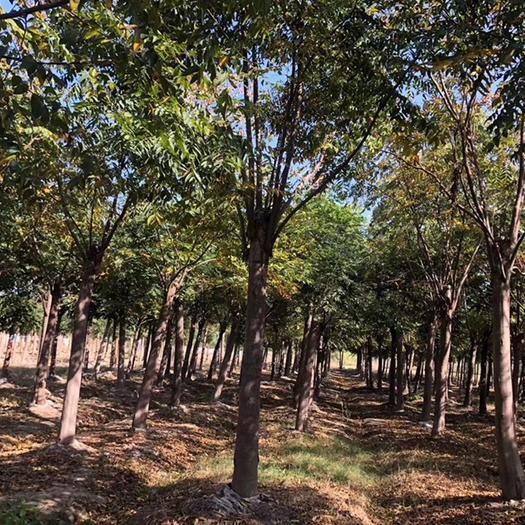 滁州 欒樹