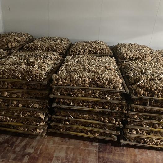 韶关曲江区广昌3号茶树菇 12~14cm 未开伞 鲜茶树菇