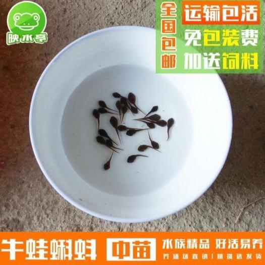 汕头澄海区 儿童观赏易养水族宠物牛蛙苗氧气包装送饲料粉
