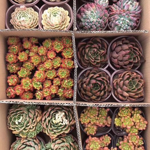 普寧市七彩多肉 多肉6色組合盆栽色彩繽紛外形奇特 根系發達好管理 凈化空氣