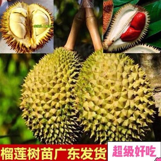 广州南沙区猫山王榴莲苗 榴莲!多个品种,当年结果,超级好吃!