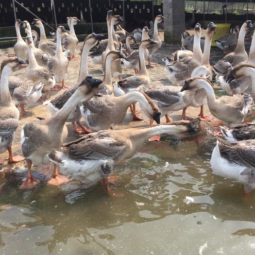 梧州蒙山县 长期供应各品种各天数肉鹅