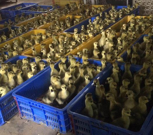 陽江江城區 常年供應大白鯊鵝苗