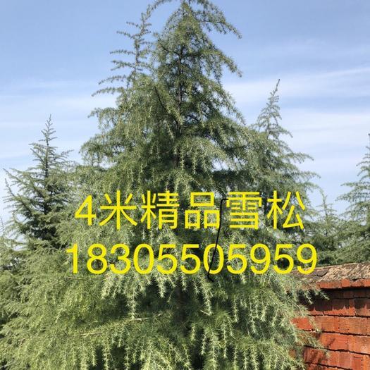 滁州南譙區普通雪松 我們的產品能讓客戶達到滿意為止