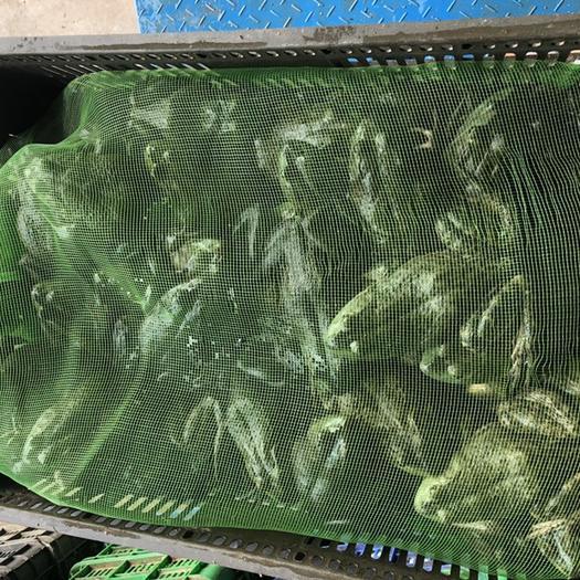 汕头澄海区 牛蛙整只真空小包装500克装