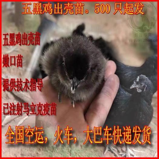 廣州 ,綠殼蛋雞苗,綠殼率高達95%年產260枚,五黑一綠