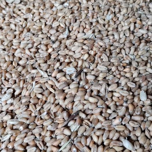 漢中鎮巴縣 專業釀酒小麥