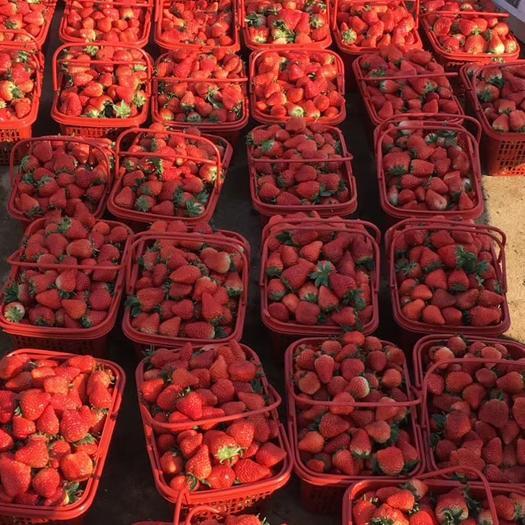 罗山县 农场直销 甜查理草莓苗 10-20公分